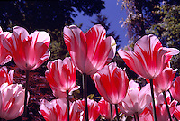 Red and White Tulips / Tulip in bloom, Spring Flowers blooming in Flower Garden, Stanley Park, Vancouver, BC, British Columbia, Canada