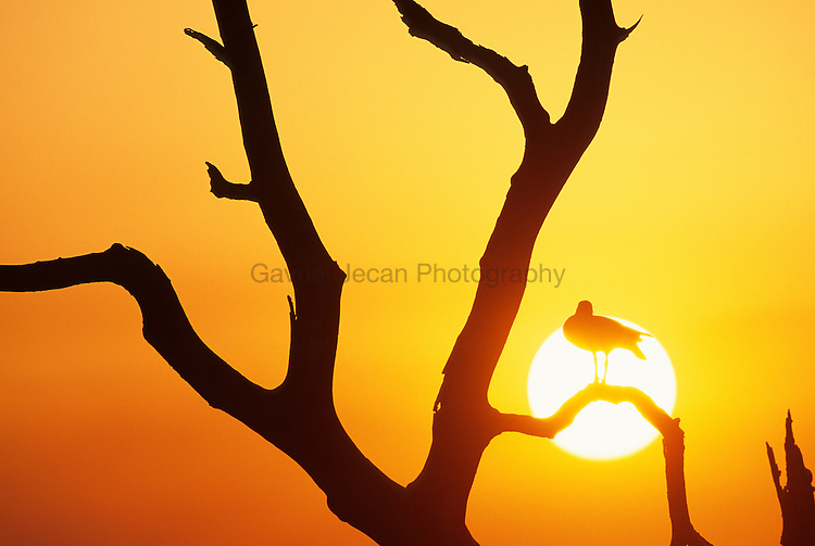 Egyptian Geese ona dry tree and sunset