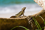 a common basilisk lizard, otherwise known as the Jesus Christ Lizard, on a branch at Manuel Antonio National Park, Costa Rica