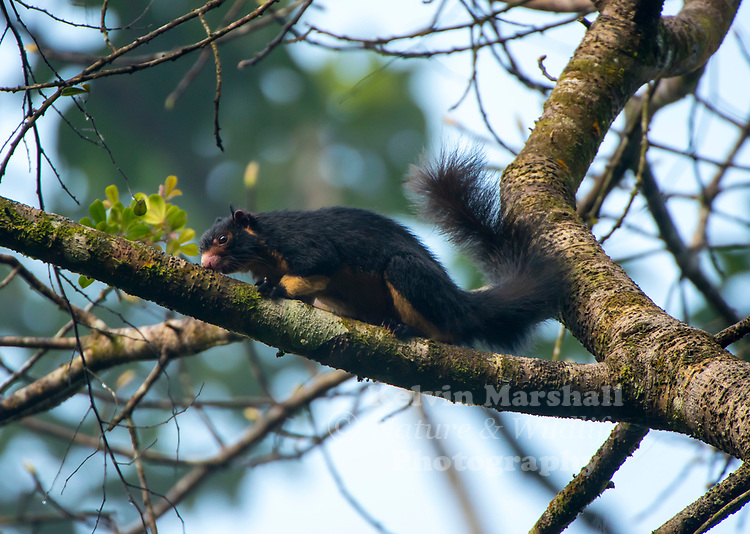 Grizzled giant squirrel (Ratufa macroura) is a large tree squirrel in the genus Ratufa found in the highlands of the Central and Uva provinces of Sri Lanka, and in patches of riparian forest along the Kaveri River and in the hill forests in the Tamil Nadu and Kerala states of southern India. Habarana - Sri Lanka.