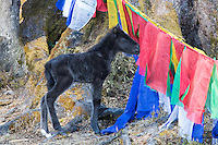 young foal in the prayer flags of Dochula Pass, Bhutan