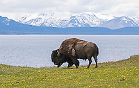 A bison grazes before Yellowstone Lake and Mt. Sheridan.