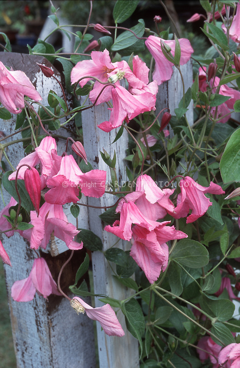 Clematis alionushka plant flower stock photography gardenphotos clematis alionushka pink flowered climbing perennial vine on blue wood picket fence mightylinksfo
