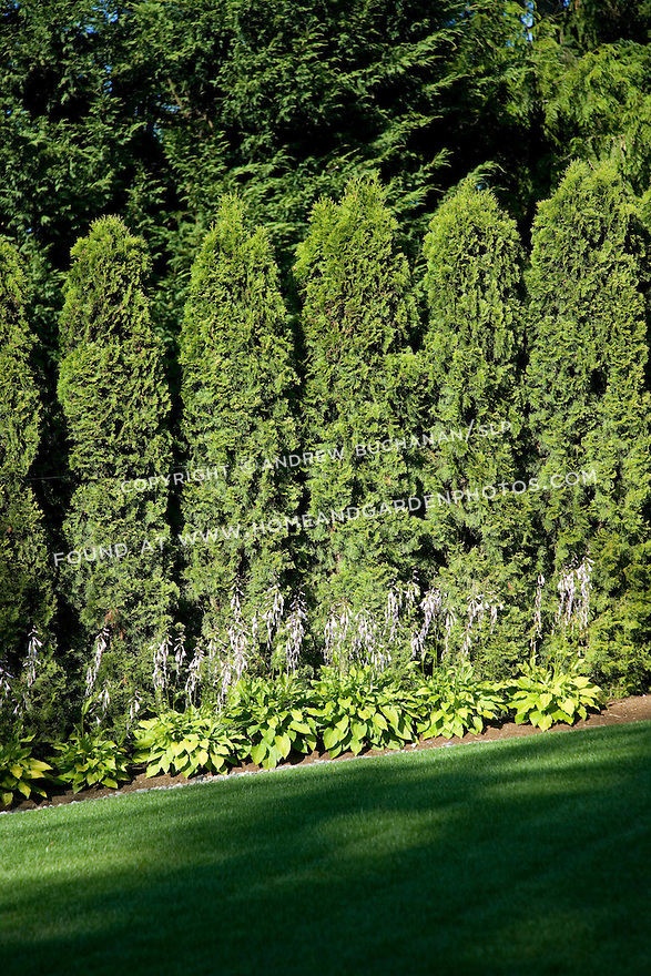 tall, vertical cypress form a privacy hedge at the property line of this estate property, while hostats plants low and in front add color and contrasting foliage