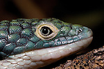 Alligator lizard, Abronia graminea is an endangered arboreal alligator lizard