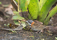 Rufous-collared sparrow, Zonotrichia capensis, Tandayapa Valley, Ecuador