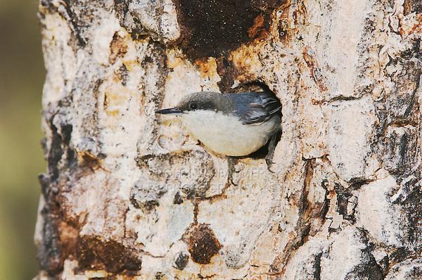 Pygmy Nuthatch,Sitta pygmaea, adult at nesting cavity in pine tree, Rocky Mountain National Park, Colorado, USA, June 2007