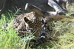 jaguar grooming