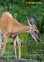 MA11-554z  Northern (Woodland) White-tailed Deer eating pond plants, Odocoileus virginianus borealis