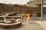 Balou, Saint Bernard in bare backyard. Three legs.