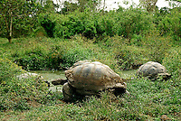 In a truly prehistoric scene giant tortoises gather at a mud hole on the island of Santa Cruz in the Galápagos Islands. The Galápagos tortoise (Chelonoidis nigra) is the largest species of tortoise in the world, reaching weights of over 880lb; and can live over 100 years in the wild.