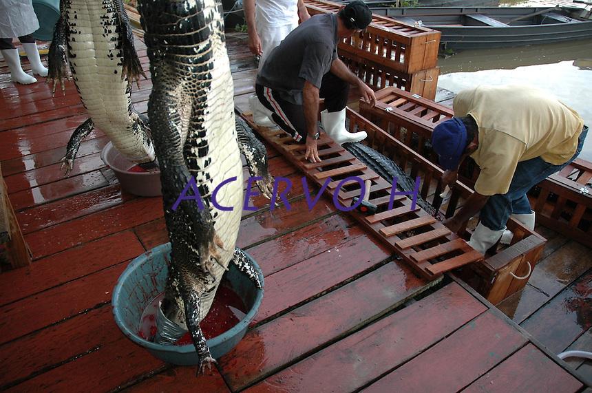 AUTORIZADO PELO IBAMA  O ABATE DE 200 JACARÉS EM MAMIRAUÁ - <br /> <br /> Pescadores e pesquisadores desenvolvem procedimentos no abate e conservação dos jacarés.<br /> <br /> O Ibama autorizou o abate de 200 jacarés para desenvolvimento de manejo do réptil em Mamirauá. As comunidades da RDS querem trabalhar com o manejo do jacaré como já fazem com o pirarucu gerando renda para os pescadores.Mamirauá, Tefé,  Amazonas,  Brasil Foto Paulo Santos 02/12/2004