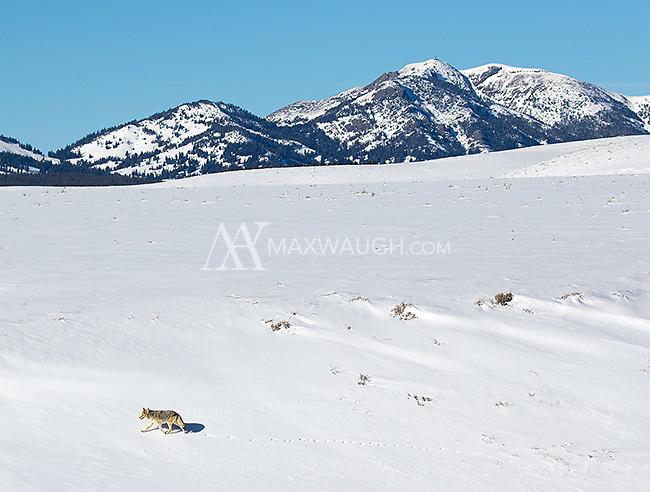A coyote walks across the floor of Hayden Valley.