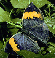 Kallima paralekta, Indian leaf butterfly, wet season form, on green leaves