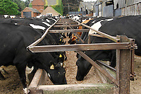 Dairy cows feeding before milking.