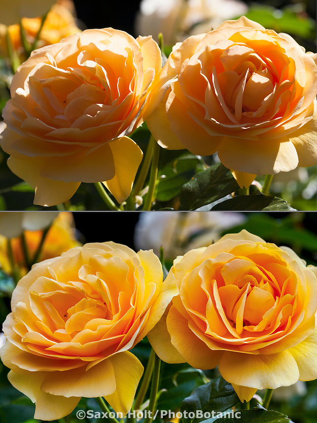 Twin yellow roses 'Golden Celebration', macro comparison bright sunlight and diffuse light from scrim