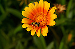 Western Yellow Jacket on Daisy, Wasp, Southern California