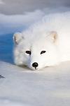 Arctic Fox (Alopex lagopus) lying on the ice.