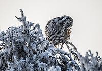 A Hawk Owl in a Spruce Tree in Southcentral Alaska.