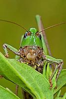 Warzenbeißer, Warzenbeisser, Decticus verrucivorus, wart-biter, wart-biter bushcricket, Tettigoniidae