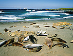 Elephant seals at Piedras Blancas, southern Big Sur near San Simeon, Central Coast of California