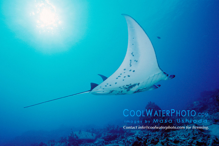 reef manta ray or coastal manta, Manta alfredi, Kona Coast, Big Island, Hawaii, USA, Pacific Ocean