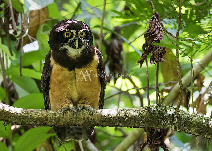 The Spectacled owl is the first owl species I ever saw, during my trip to Costa Rica in 2005.