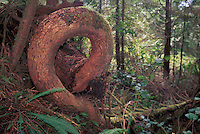 Curled Coniferous Tree Trunk in West Coast Temperate Rainforest on Vancouver Island, BC, British Columbia, Canada - Unusual Tree Formations