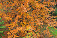 ORPTH_124 - USA, Oregon, Portland, Hoyt Arboretum, Autumn color of American beech trees (Fagus grandifolia).