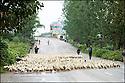 2006- Chine- Sur la route de Wanxian. Troupeau de canards.