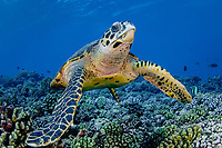 hawksbill sea turtle, Eretmochelys imbricata, critically endangered species, Tiputa Pass, Rangiroa, French Polynesia, Pacific Ocean