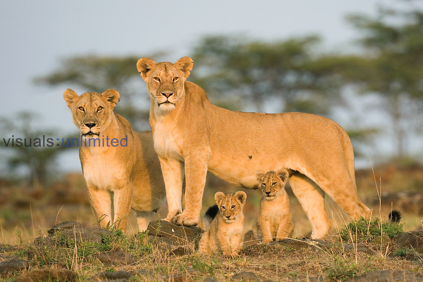 Lion, Panthera leo, Masai Mara, Kenya, East-Africa.
