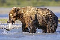 Kodiak grizzly bear (Ursus arctos middendorffi) catches a salmon, Hallo Bay