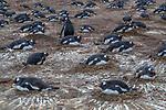 Falkland Islands / Islas Malvinas (British Overseas Territory), gentoo penguin (Pygoscelis papua)