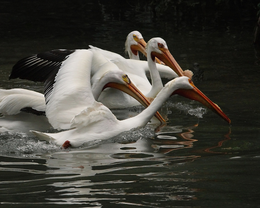 Group of four pelicans on the move..