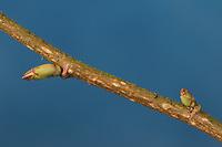 Hasel, Knospe, Knospen, Gewöhnliche Hasel, Haselnuß, Haselnuss, Corylus avellana, Cob, Hazel, bud, buds, Coudrier, Noisetier commun