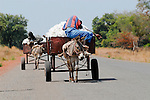 MALI, Bougouni , sleeping farmer transport cotton from field with donkey cart / MALI , Bougouni, schlafende Bauern transportieren Baumwolle mit Eselkarren