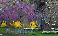 Forsythia 'Winterthur', yellow flowering spring shrub with Redbud trees (Cercis canadensis) under towering Sycamore tree and benches- Winterthur Garden