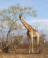 Southern giraffes were a common sight in both South Africa and Botswana.