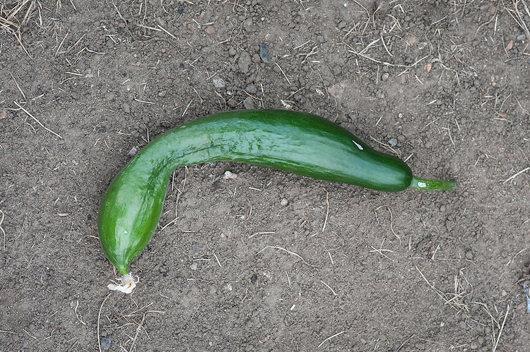 "Distorted, misshapen cucumber, late August. Sometimes known as ""crooking"", curled or twisted cucumbers are common and can be caused by a number of factors: irregular watering, temperatre fluctuations, pollination problems, and nutritional deficiencies."