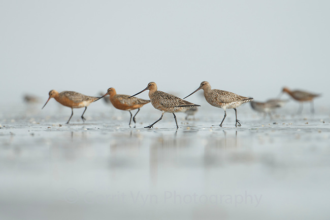 Bar-tailed Godwit (Limosa lapponica). Bohai Bay, China. May.