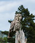 Great gray owl. Bridger-Teton National Forest, Wyoming.