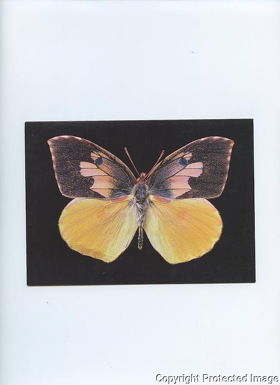 NCAS  California Dog Face Butterfly  5x7 Notecard