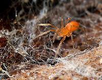 Oonops domesticus - female. A tiny spider that can be found in houses but also outdoors under bark and in leaf litter. It is often found living in the webs of larger spiders.