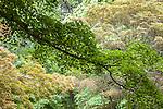 Leaves of several maple trees at the Arnold Arboretum in the Jamaica Plain neighborhood, Boston, Massachusetts, USA