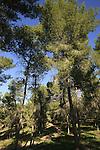 Israel, Shephelah, the Malachim (angels) forest