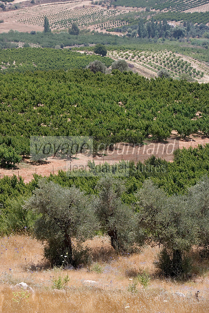 Asie/Israël/Galilée/Plateau du Golan: Oliveraies