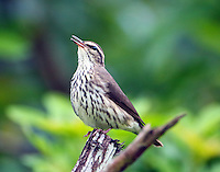 Northern waterthrush singing