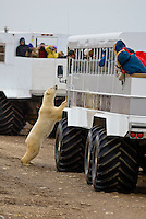 A curious polar bear climbs up for a closer look and poses for tourists shooting photos from aboard tundra buggies, along Hudson Bay, near Churchill, Manitoba, Canada