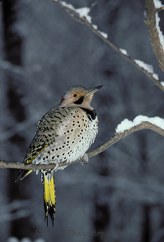 Northern yellow-shafted flicker (Colaptes auratus)